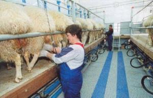 Механизированная линия дойки овец и коз