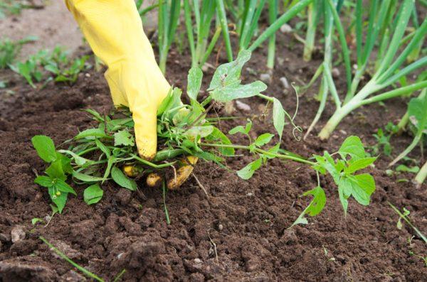 чем обработать огород от сорняков весной