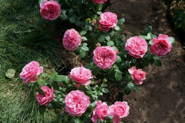 Пора обрезать и укрывать розы на зиму. Спешите до морозов!