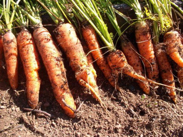 Сбор урожая и правильное хранение моркови