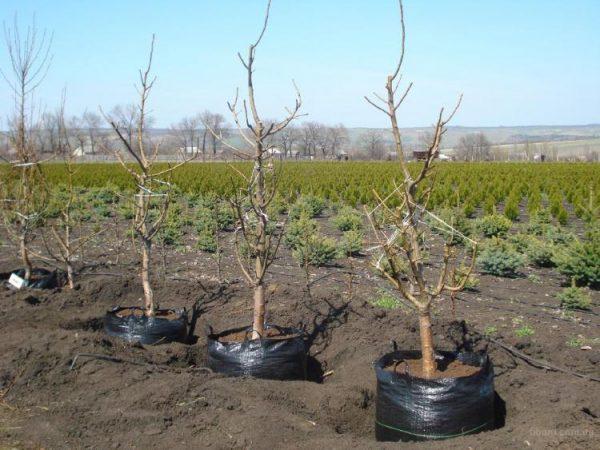 Основные правила посадки вишни