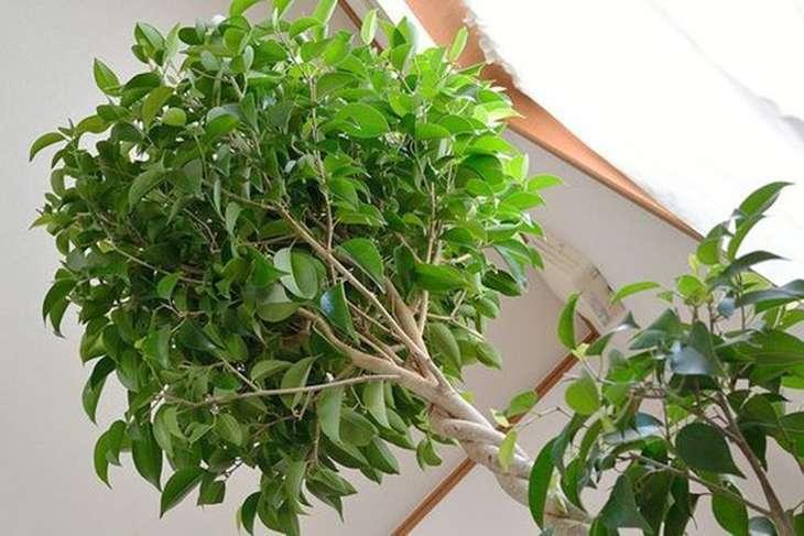 Ficus 13