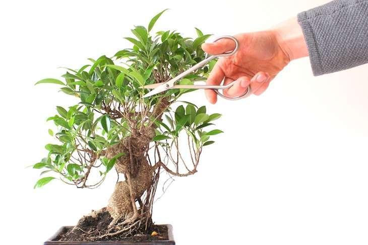 Ficus 7
