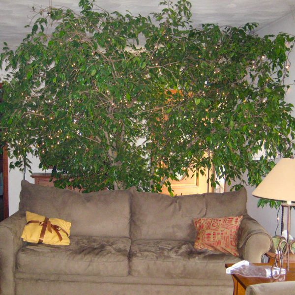ficus tree 04