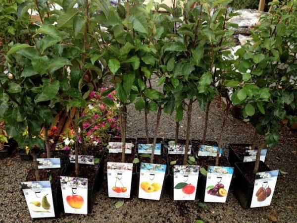 sazhenci plodovih derevev 696x522
