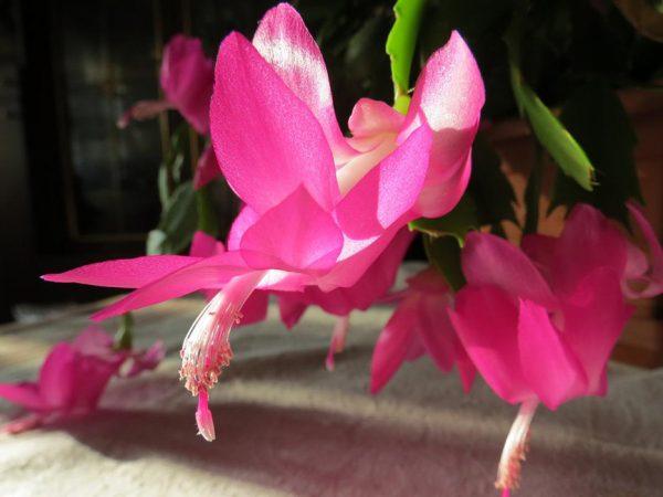 tsvetenie shlyumbergery rozovym tsvetom