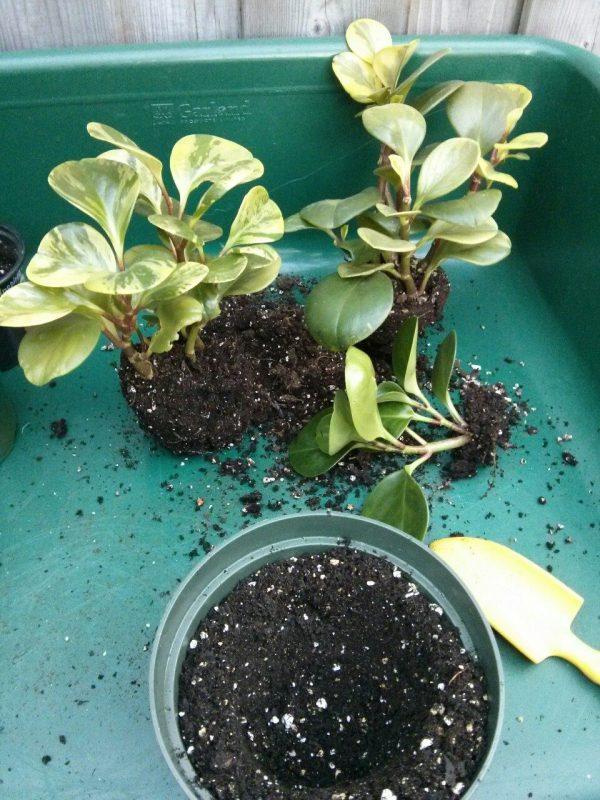 08 transplant houseplant botanichka