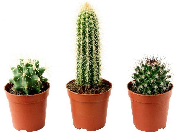 Смешные, картинки комнатные растения кактус