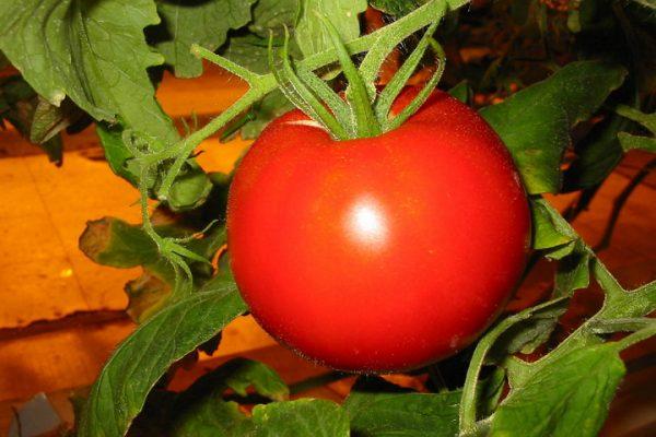 1415101522 tomat