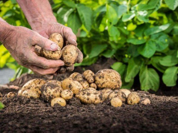 potato2 e1519980653775