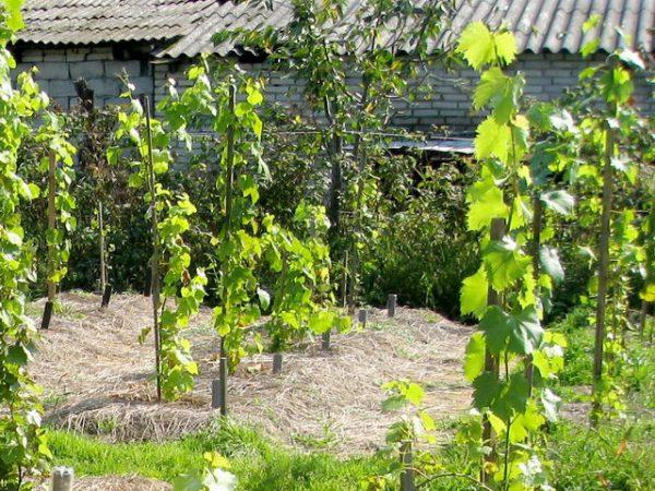 vinograd sazhentsy foto