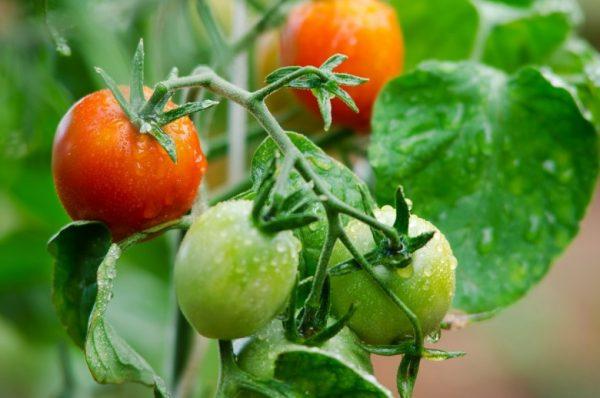 Podkormka pomidor 8