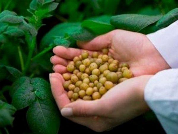 Картинки по запросу Посадка картофеля семенами на рассаду