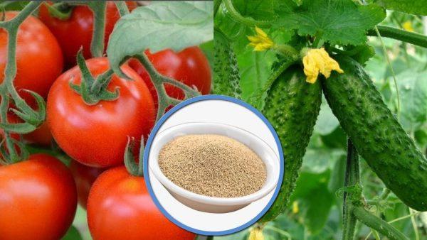 pravila podkormki drozhzhami pomidorov i ogurcov 3