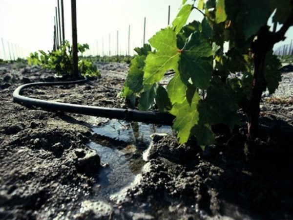 kak chasto polivat vinograd posle posadki 1 666x500