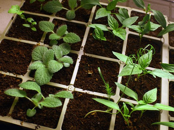 pepper seedlings3