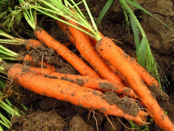 Картинки по запросу большого урожая моркови