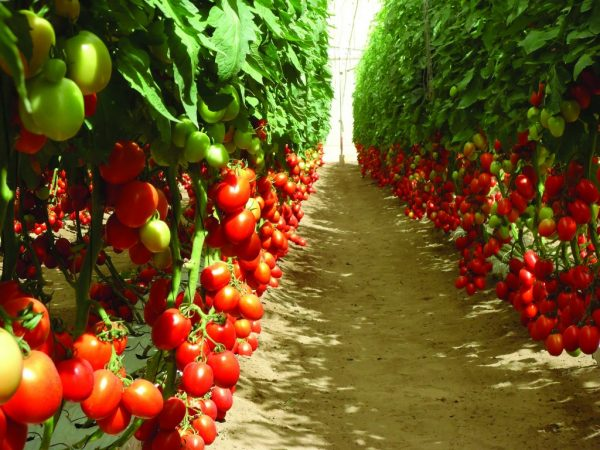 indeterminantnie sorta tomatov