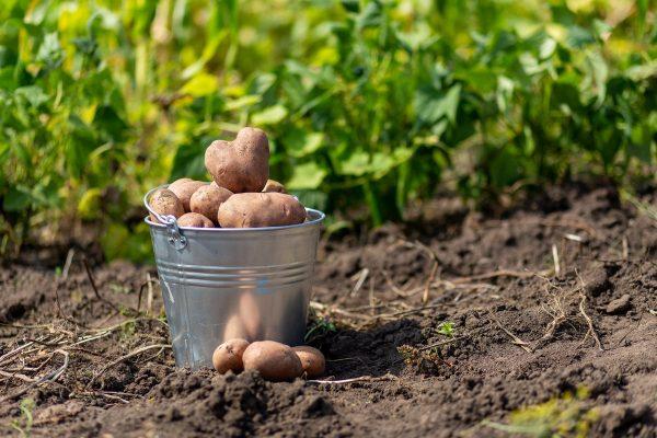 Картинки по запросу Рядом с картофелем и томатами надо сажать свеклу