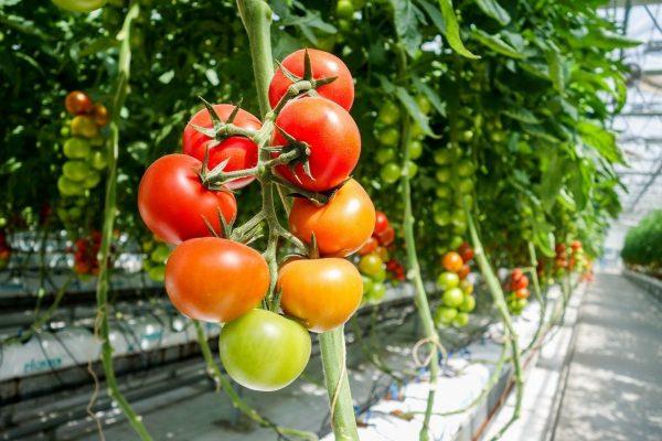 sorta tomatov dlya teplic 7 31163426