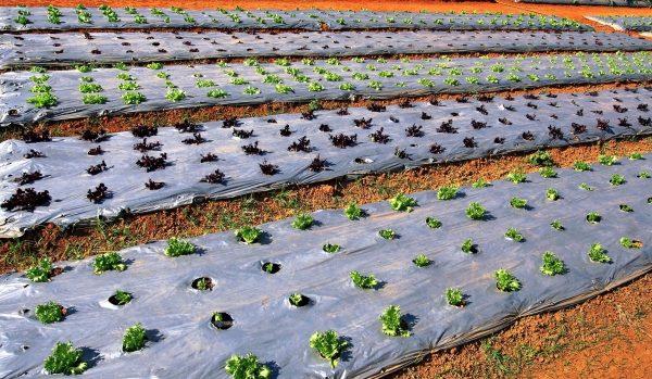 vyrashhivanie salata
