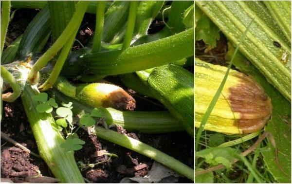 Картинки по запросу болезни овощных растений Загнивание кончиков плодов у кабачков
