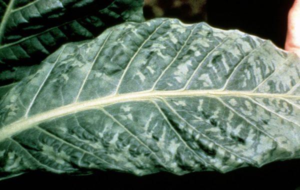 Картинки по запросу болезни овощных растений Мозаика листьев