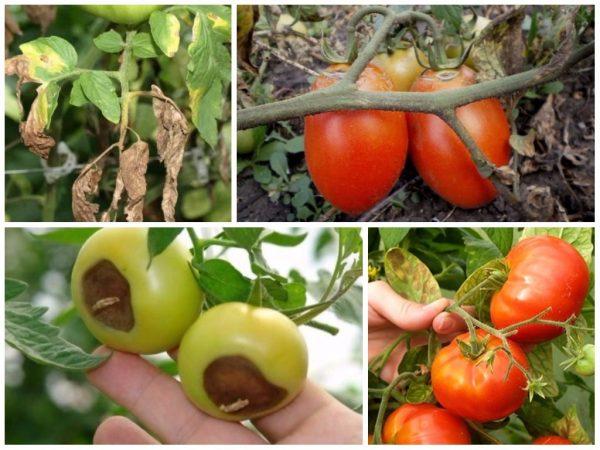 Картинки по запросу болезни овощных растений Вершинная гниль плодов