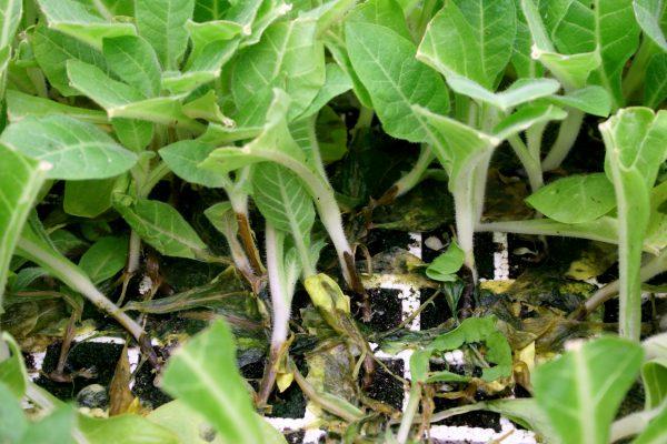 Картинки по запросу болезни овощных растений Черная ножка
