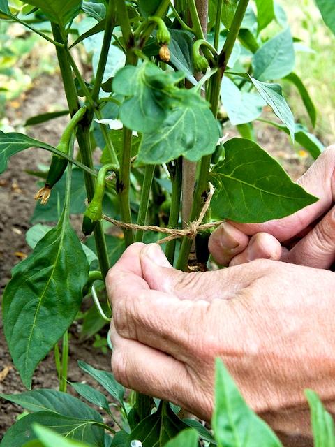 uhod za ovoschnymi rasteniyami v ijule