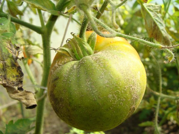1 fitiftora na pomidorah