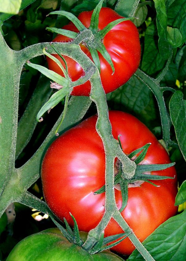 Tomatoes on the bush