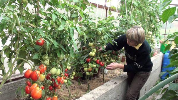 Vyrashhivanie pomidorov v teplice