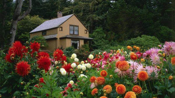dahlia garden next to the house