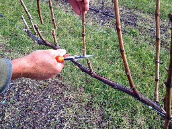 pruning vines 03