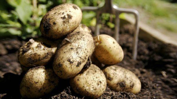 aardappels