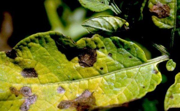 bolezni ovoshhej v otkrytom grunte simptomy foto i mery borby 1