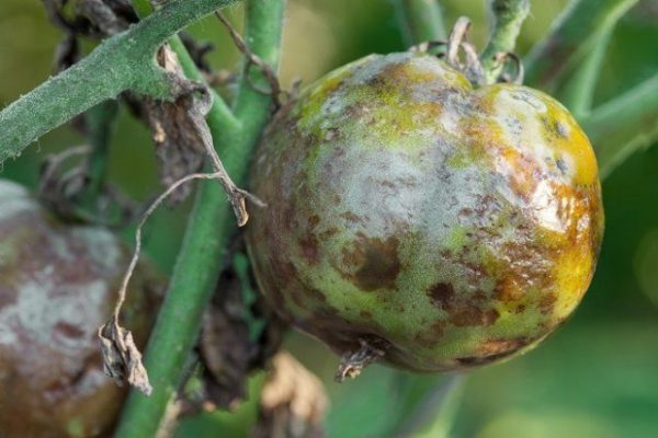 bolezni ovoshhej v otkrytom grunte simptomy foto i mery borby 9