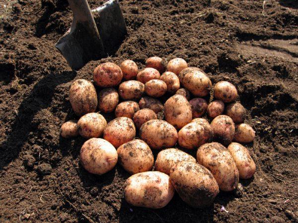 kartofel sort avrora