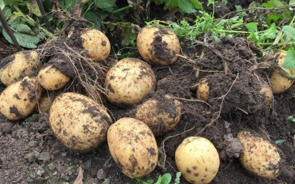 kogda i kak sazhat kartofel i kakie sorta vybrat chtoby poluchit khoroshij urozhaj