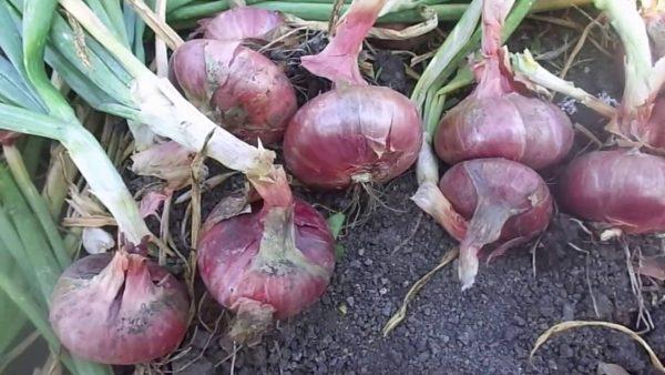Картинки по запросу Репчатый лук — правильно собираем урожай и готовим к хранению