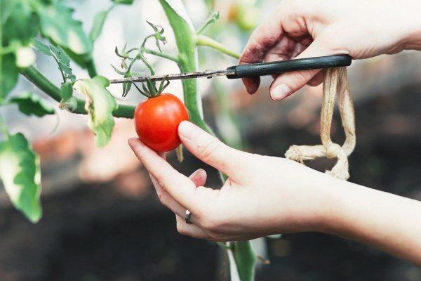 Картинки по запросу Что сделать из помидоров, если собранный урожай начал портиться