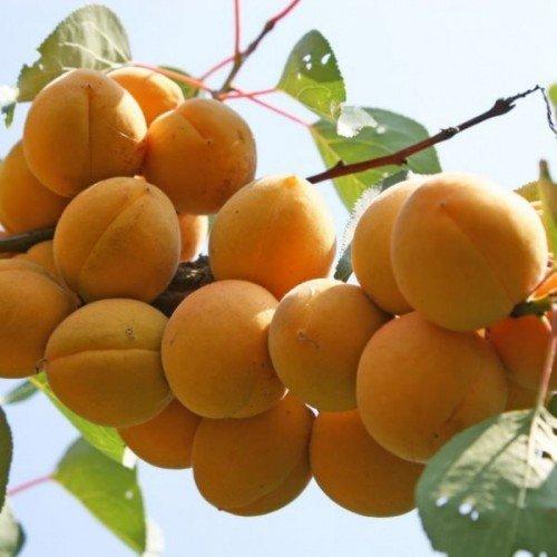 grozd spelyy abrikosov 500x500