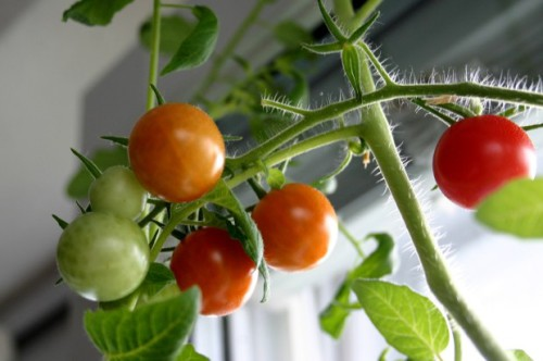 6 Vegetables to Grow Indoors 1 e1392727615238