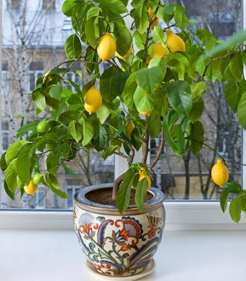 Lemon Tree FGT crop e1392727668863