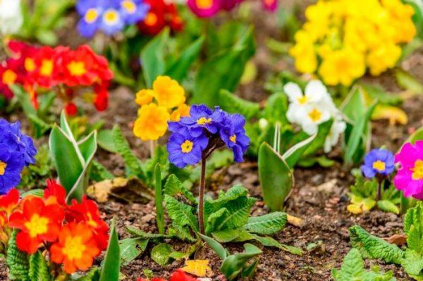 Примула садовая многолетняя, выращивание на даче: посадка и уход с фото
