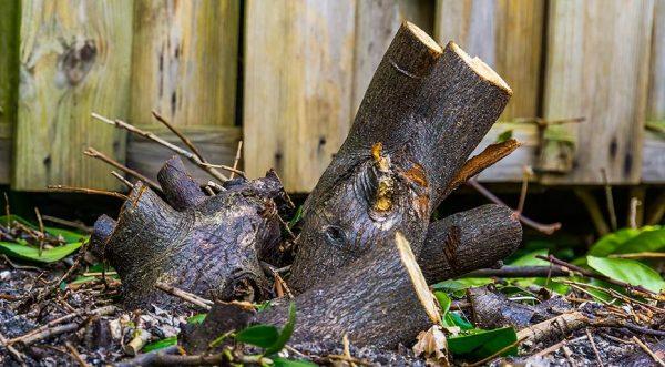 Формирующая обрезка на пень: для повышения декоративности растений