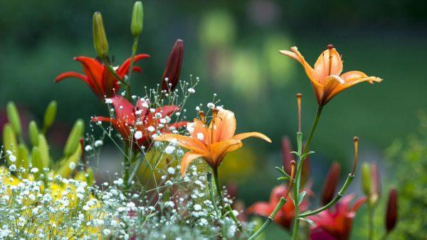 Когда, где и как сажать лилии весной: правила и особенности процесса