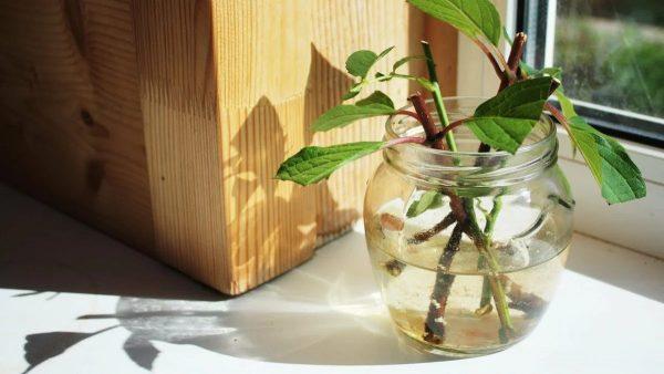 Укореняем черенки в воде: секреты помогающие укоренить любые растения, размножающиеся таким образом