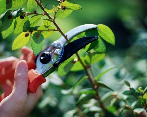 Как обрезают кустарники и деревья с приходом весны – на заметку садовнику